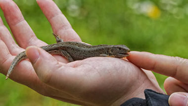 The best Pet Lizard for a Kid